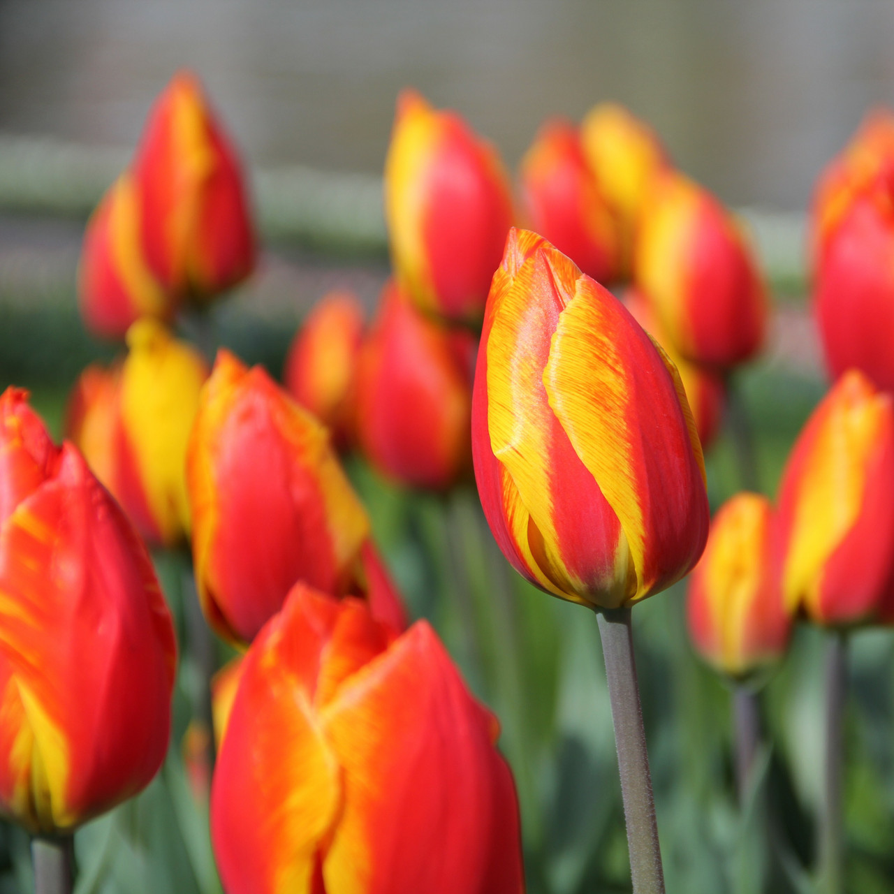 Division 1 - Single Early Tulips