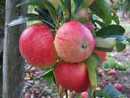 Cordon fruit trees