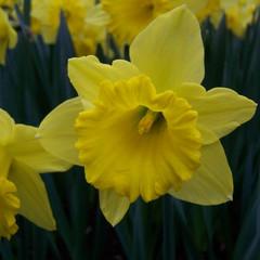 Division 1 - Trumpet Narcissus