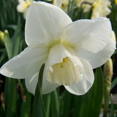 Division 3 - Small-cupped Narcissus