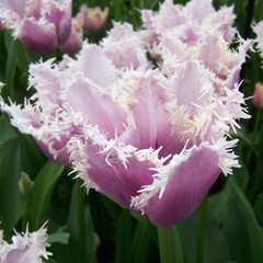 Division 7 - Fringed Tulips