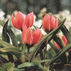 Division 15 - Species Tulips