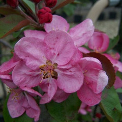 Malus 'Red Glow'