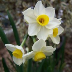 Division 8 - Tazetta Narcissus