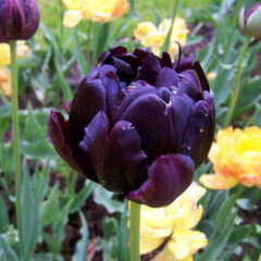 Division 11 - Double Late Tulips