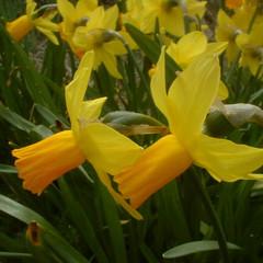 Division 6 - Cyclamineus Narcissus