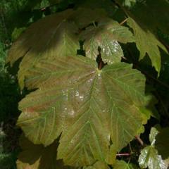 Acer pseudoplatanus 'Purpureum'
