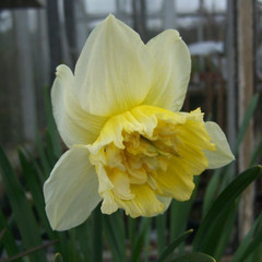 Division 4 - Double Narcissus