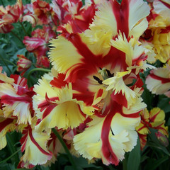 Division 10 - Parrot Tulips
