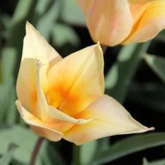 Division 14 - Greigii Tulips