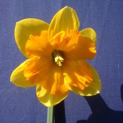 Division 11 - Split Corona Narcissus