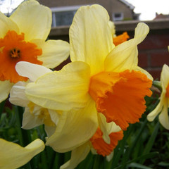 Division 2 - Large-cupped Narcissus