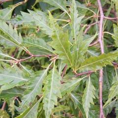 Fagus sylvatica heterophylla
