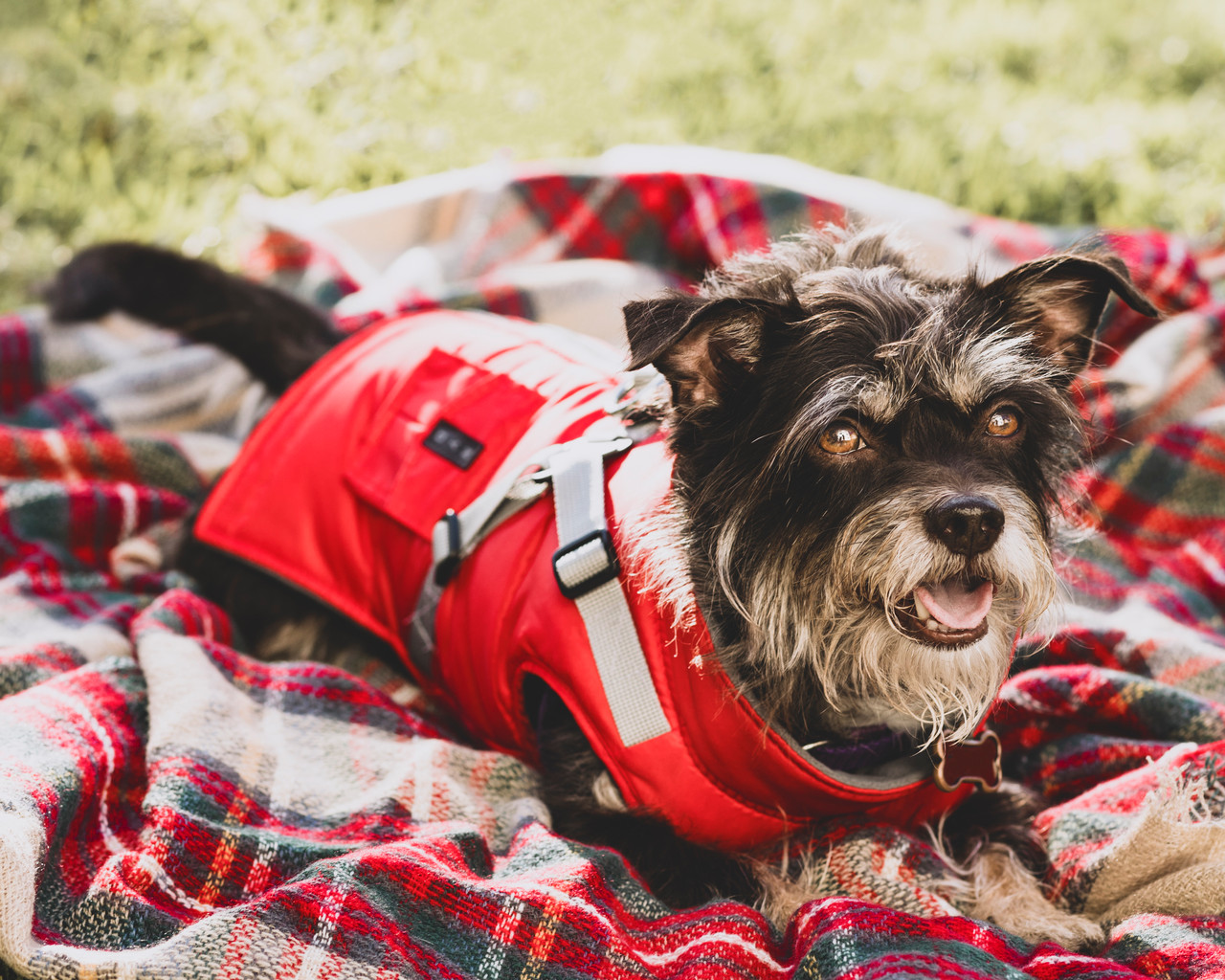 NYD Harness Coat on dog model red size 12