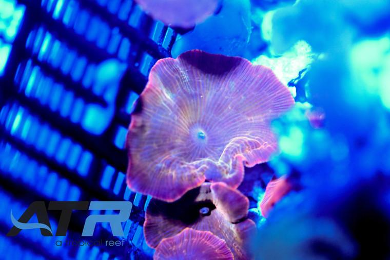 ATR Ultra Orange Mushroom