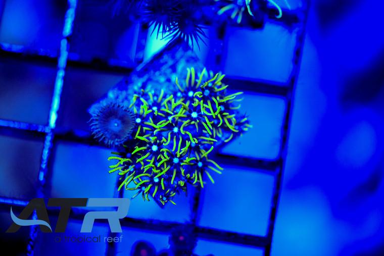 ATR Green Star Polyps