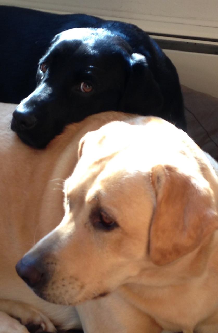 Labradors Summer & Crow