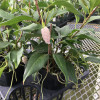 Pearl Anthurium