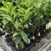 "Tea Plant (Camellia sinensis)- 4"" Pot"