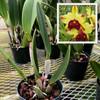 Rlc. Toshie Aoki 'Pizazz' AM/AOS (Plant Only)