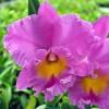 Rlc. Pink Empress 'Ju-sen' AM/AOS (Plant Only)