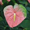 Coral Obake (Anuenue) Anthurium Plant