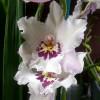 Vuyl. Fall in Love 'White Fairy'
