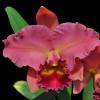 Rlc. Sharon Forsythe 'Orange Red' (Plant Only)