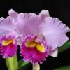 Rlc. Joy Sokabe 'Shining' (Plant Only)