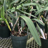 C. bowringiana coerulea x Rth. Volcano Blue 'Volcano Queen' (Plant Only)
