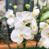 Phal. Timberline (White)