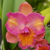 Rth. Coral Gold 'Volcano Queen' FLASK (Cattleya Clone)