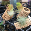 Tillandsia Air Plant Mounted on Cholla
