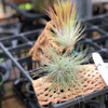 Tillandsia Air Plant Mounted on Cholla (Novelty)