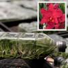 Rlc. Mariah Crawford's Merriment 'Volcano Red' FLASK (Cattleya Clone)