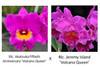 Rlc. Akatsuka Fiftieth Anniversary 'Volcano Queen' x Rlc. Jeremy Island 'Volcano Queen' (Plant Only)