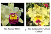 Rlc. Naoko 'XXXX' x Rlc. Goldenzelle (Plant Only)