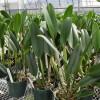 Rlc. Mount Hood 'Mary' x Rlc. Akatsuka Fiftieth Anniversary 'Volcano Queen' (Plant Only)