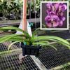 "V. Fuchs Delight 'Blue' x Dr. Anek (Plant Only-3"" hanging)"