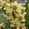Mini Yellow/Red Lip Cymbidium Orchid Sprays