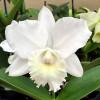 C. Hawaiian Wedding Song 'Virgin' FLASK (Clone)
