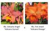 Rlc. Volcano Angel 'Volcano Sunset' x Rlc. Fire Jewel 'Volcano Beauty' FLASK (Seedling)