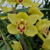 Yellow Cymbidium Orchid Sprays (Standard Size)