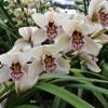 Mini White Cymbidium Orchid Sprays