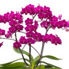 """Phal. Cosy Candy (3"""" pot - w/spike)"""