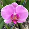 Phal. Light Lavender (364279)
