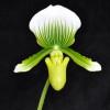 Paph. Maudiae (Green & White)