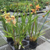 Assorted Cymbidium Plant (Warm Climate)