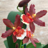 Onc. Hilo Firecracker 'New Year'