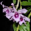 Dendrobium anosmum (Honohono)-Lavendar